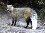 Whitetailed Mongoose
