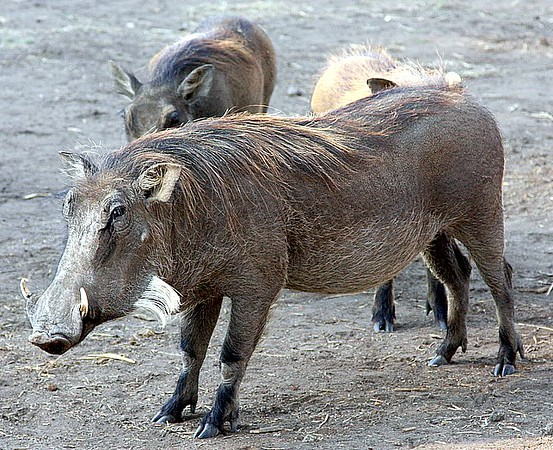 Hey, good-lookin'!    Handsome warthog in Zimbabwe.