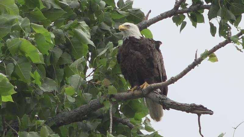 6-26-21...adult Bald Eagle...day after 1st eaglet fledged