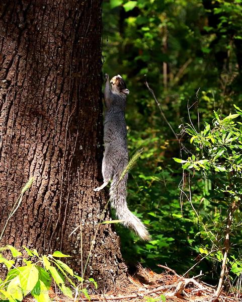 Fox Squirrel - Sciurus niger