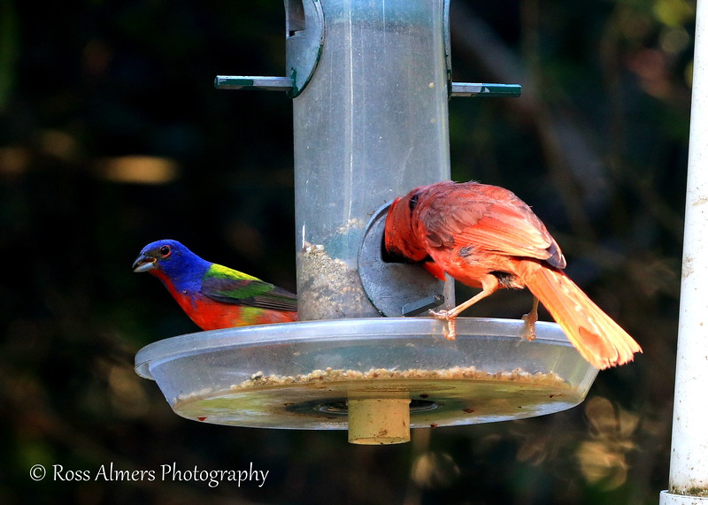 Painted Bunting and Northern Cardinal