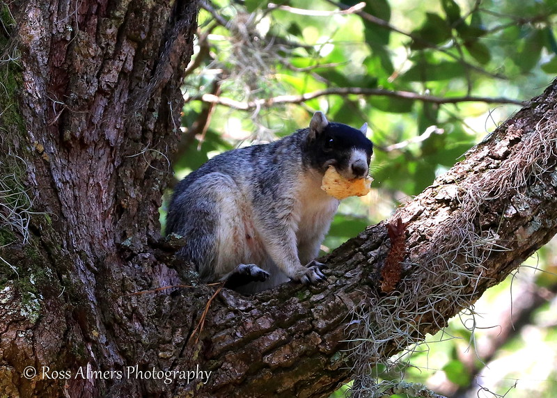 Fox Squirrel - Sciurus niger