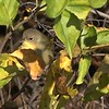 2 min. 6 sec. video of a Common Yellowthroat (female)