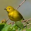 Yellow Warbler (female)