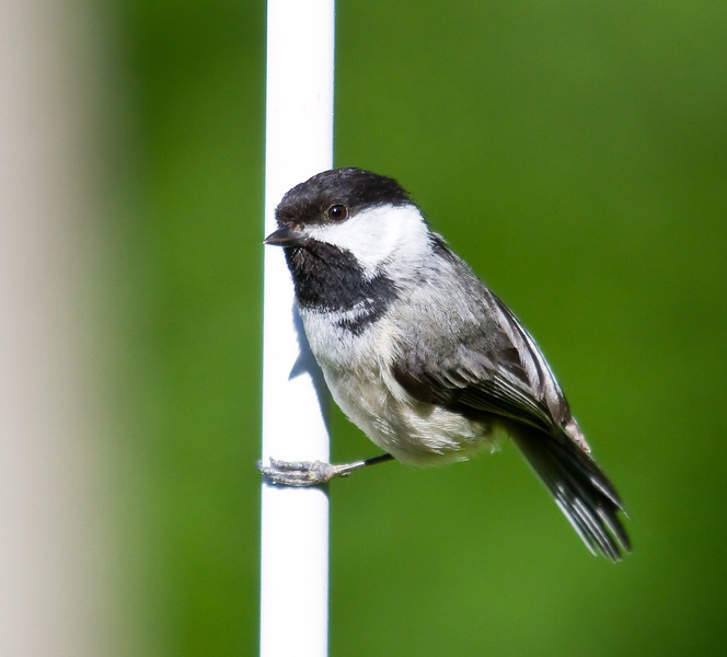 black capped chickodee
