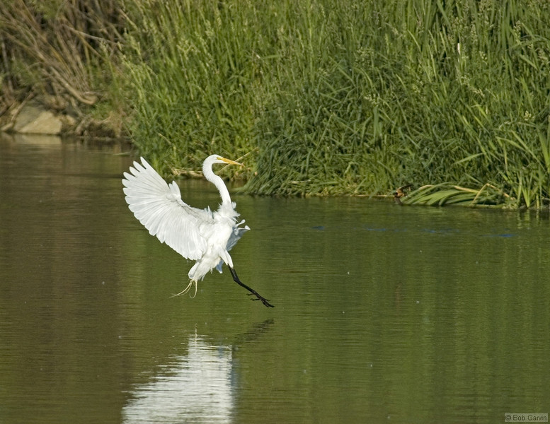 Great Egret<br /> Weld County, Colorado<br /> I-25 & Boulder Creek