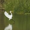 Great Egret<br /> Weld County, Colorado<br /> I-25 & Boulder Creek