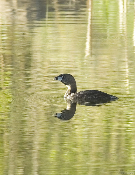 Pie-billed Grebe<br /> Boulder County, Colorado<br /> Sawhill Ponds