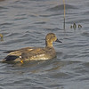 Duck, Gadwall<br /> Socorro County, New Mexcio<br /> Bosque del Apache National Wildlife Refuge