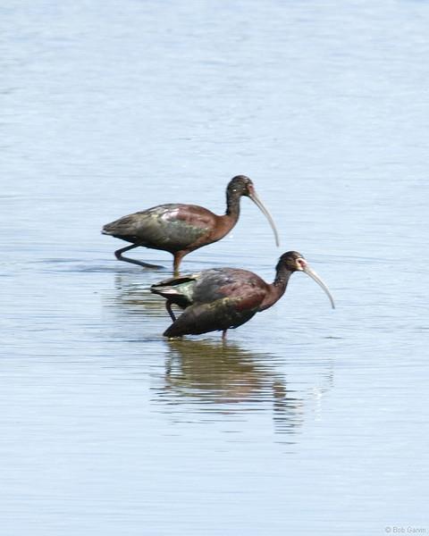 White-Faced Ibis<br /> Boulder County, Colorado<br /> Sawhill Ponds