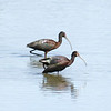 White-Faced Ibis<br /> Boulder County, Colorado<br /> Sawhill Ponds