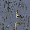 American Avocet<br /> Socorro County, New Mexico<br /> Bosque del Apache National Wildlife Refuge