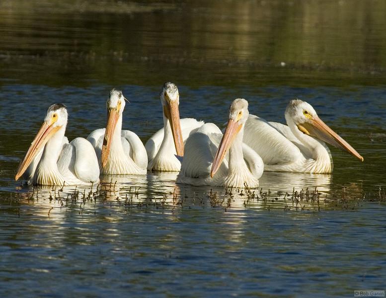 American White Pelican<br /> Boulder County, Colorado<br /> Sawhill Ponds