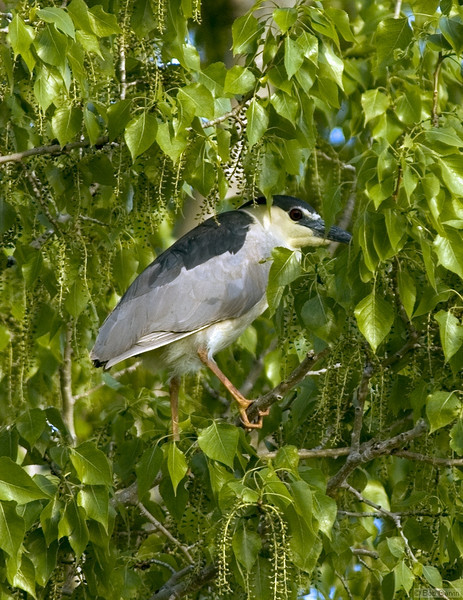 Black-Crowned Night-Heron<br /> Boulder County, Colorado<br /> Sawhill Ponds