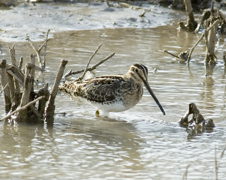 Common Snipe<br /> Socorro County, New Mexcio<br /> Bosque del Apache National Wildlife Refuge
