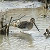 Common Snipe<br /> Socorro County, New Mexcio<br /> Bosque del Apache National Wildlife Refuge