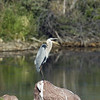 Great Blue Heron<br /> Boulder County, Colorado<br /> Sawhill Ponds