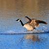 Canada Goose<br /> Boulder County, Colorado<br /> Sawhill Ponds