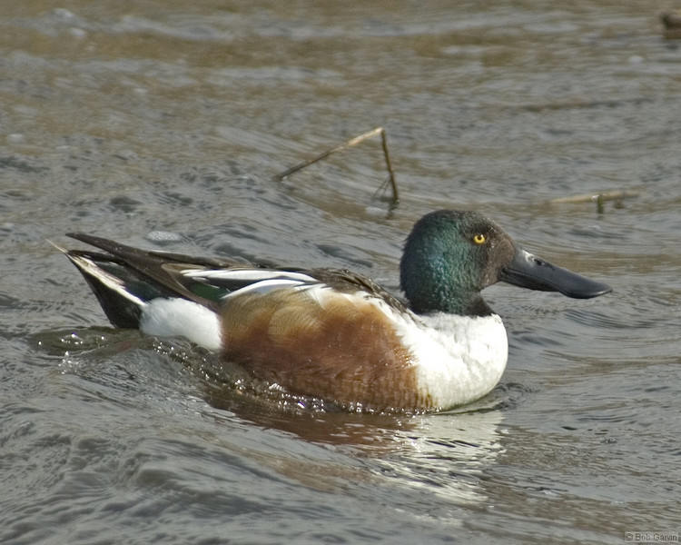 Duck, Northern Shoveler<br /> Socorro County, New Mexcio<br /> Bosque del Apache National Wildlife Refuge