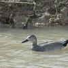Duck, Gadwall<br /> Socorro County, New Mexcio<br /> Bosque del Apache National Wildlife Refuge