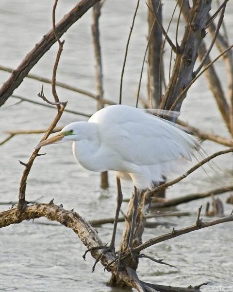 Great Egret<br /> Socorro County, New Mexcio<br /> Bosque del Apache National Wildlife Refuge