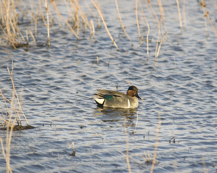 Duck, Green-Winged Teal<br /> Socorro County, New Mexcio<br /> Bosque del Apache National Wildlife Refuge