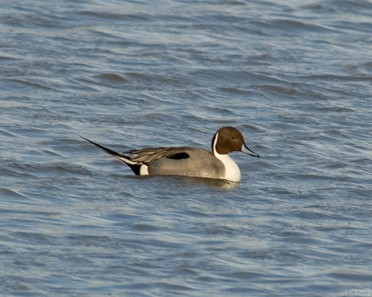 Duck, Northern Pintail<br /> Socorro County, New Mexcio<br /> Bosque del Apache National Wildlife Refuge