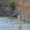 Great Blue Heron<br /> Socorro County, New Mexcio<br /> Bosque del Apache National Wildlife Refuge