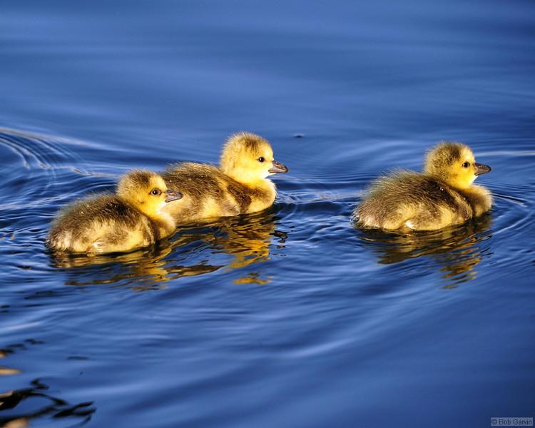 Canada Goose (Goslings)<br /> Boulder, Colorado<br /> Sawhill Ponds