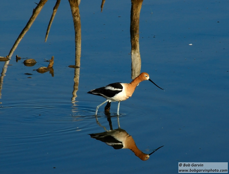 American Avocet<br /> Boulder County, Colorado<br /> Sawhill Ponds