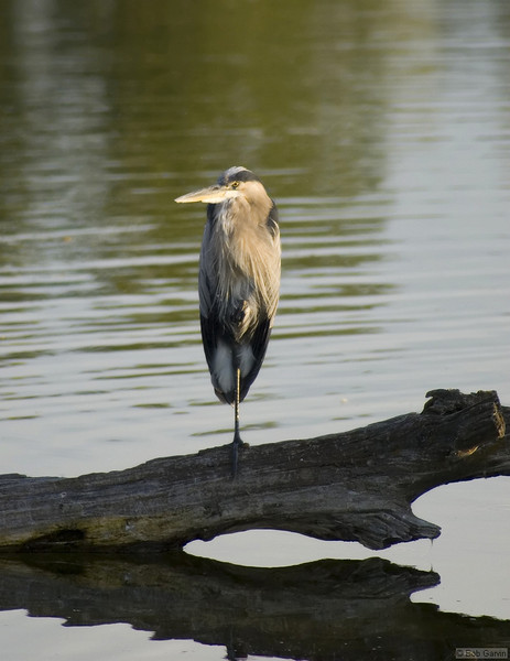 Great Blue Heron<br /> Boulder County<br /> Sawhill Ponds