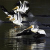 American White Pelican<br /> Boulder County, Colorado<br /> Sawhill Ponds<br /> #36