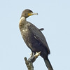 Double-crested Cormorant<br /> Boulder County, Colorado<br /> Sawhill Ponds