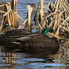 A pair of Mallards basking in the sun.