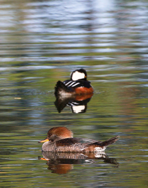 Female Hooded -Merganser....