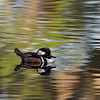 Hooded Merganser (Lophodytes cucullatus) male
