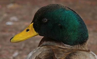 Mallard (Anas platyrhynchos) male