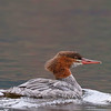 Common Merganser (Genus Mergus) female. Adult