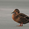 Female Mallard (Anas platyrhynchos) on frozen pond in the winter.