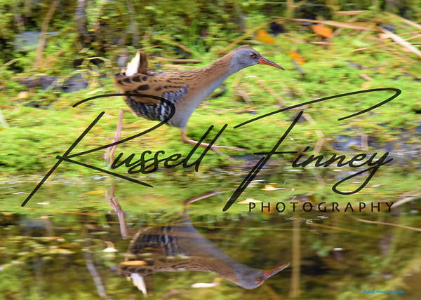 Water Rail russell finney photography (5)
