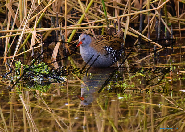 Water Rail russell finney photography (4)