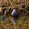 Water Rail russell finney photography (1)