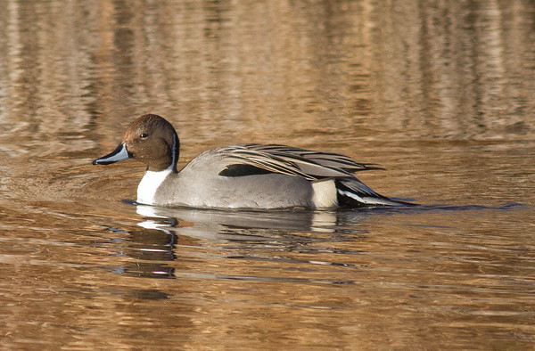 Pintail (male)