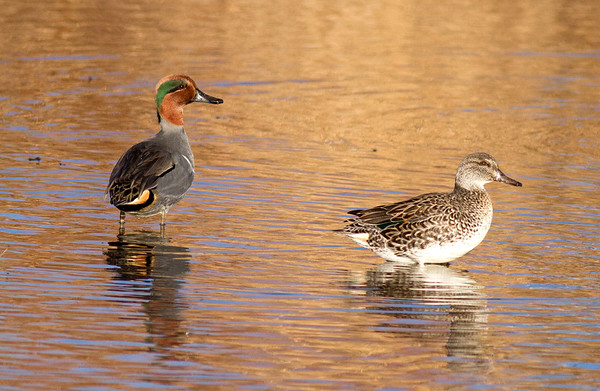 Green Winged Teal (male and female)