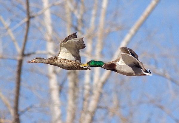Racing Mallards  (male and female)