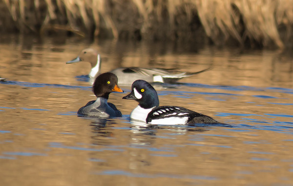 Male and Female Barrow's Goldeneye