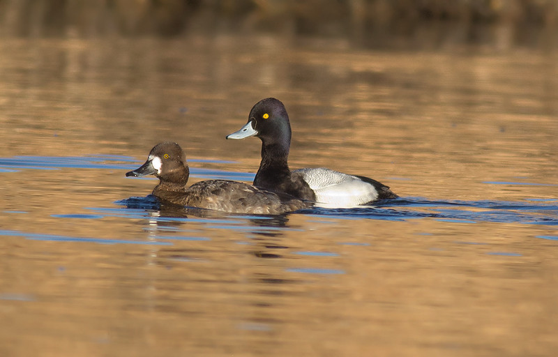Lesser Scaup (male and female)