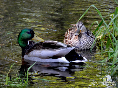 Mallard Ducks ~ Lake Junaluska, NC