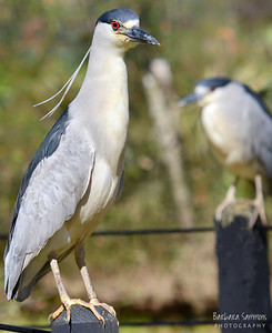 Black-Crowned Night Heron Brookgreen Gardens ~ Murrells Inlet, SC