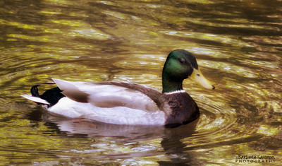Mallard Duck ~ Lake Junaluska, NC